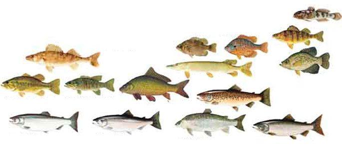 Определение возраста рыб различных видов