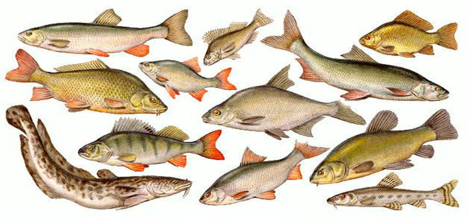 Пресноводные рыбы России
