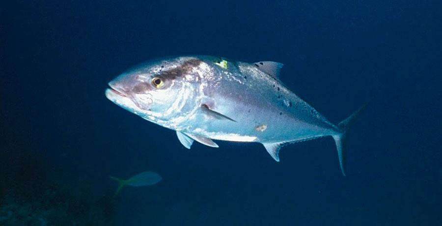 Рыба лакедра (желтохвост)