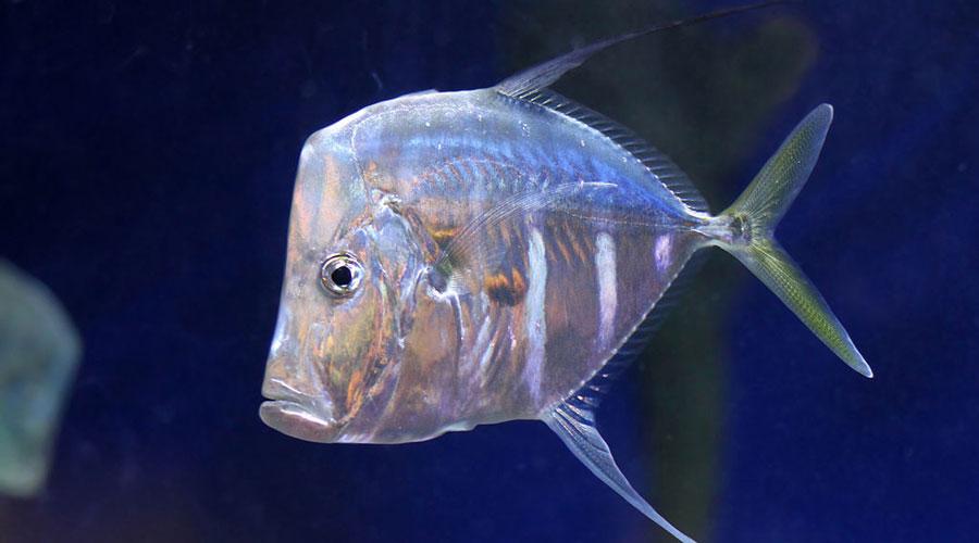 Рыба вомер