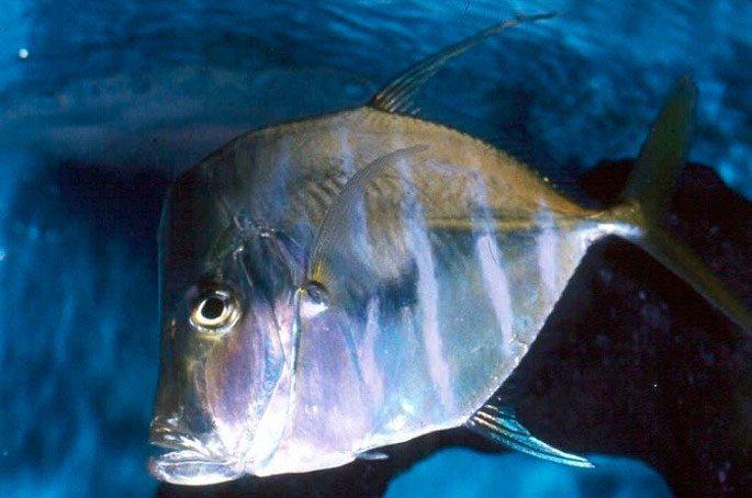 Что еще интересного о рыбе вомер