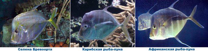 Вомер: виды рыбы