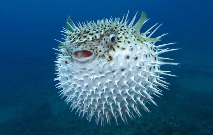 Что еще известно о рыбе фугу