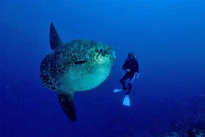Сколько живет луна-рыба