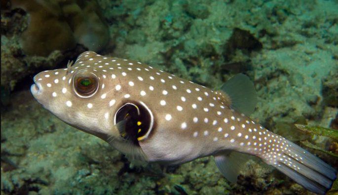 Сколько живёт рыба фугу