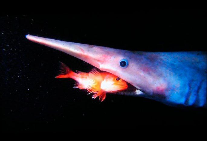 Рацион питания акулы-гоблина
