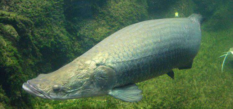 Рыба арапаима