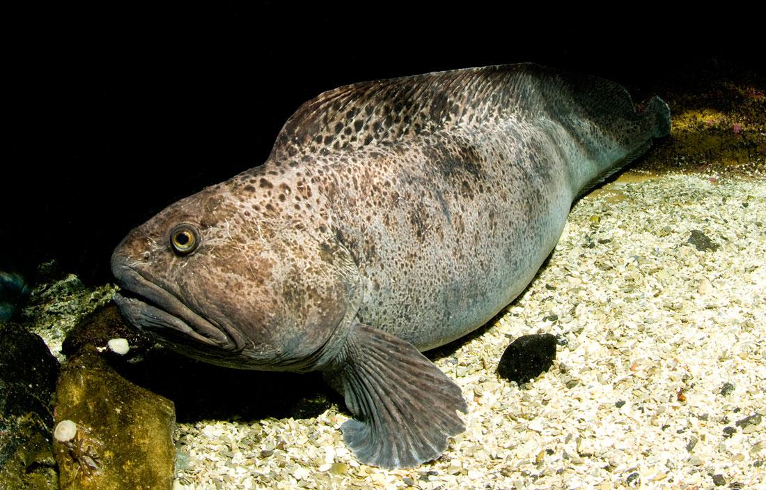 Зубатка пятнистая фото рыбы