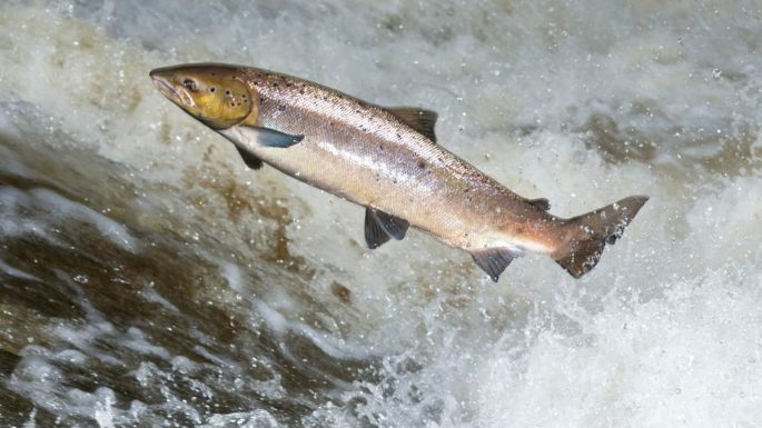 Рацион питания лососей