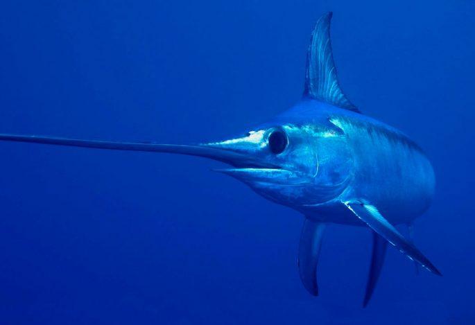 Сколько живут меч-рыбы