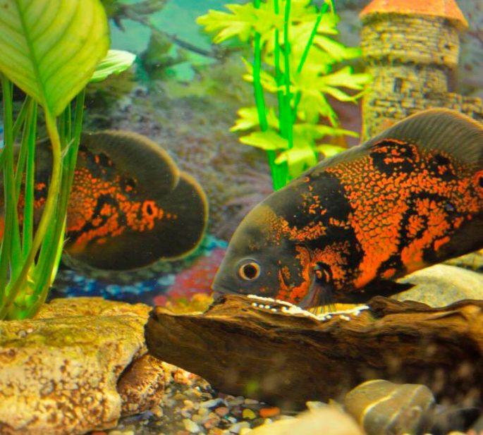Содержание и уход в аквариуме