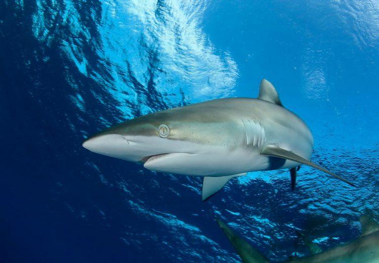 Шелковая акула