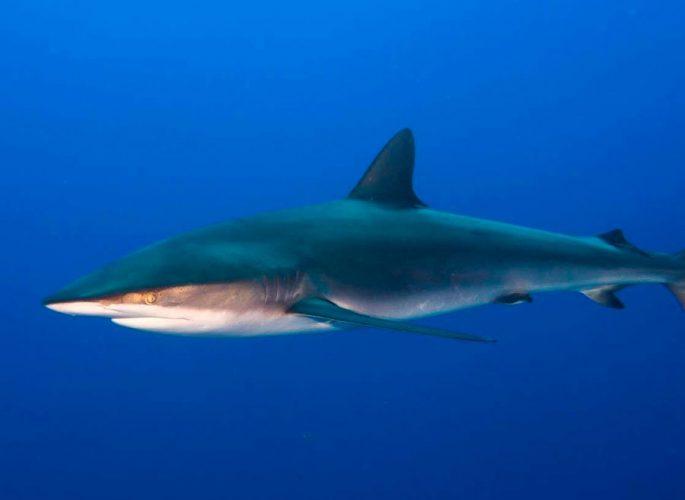 Сколько живет шелковая акула