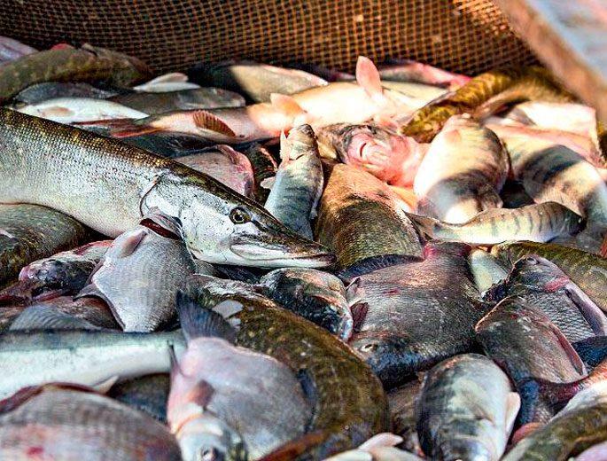 Как правильно выбрать речную рыбу