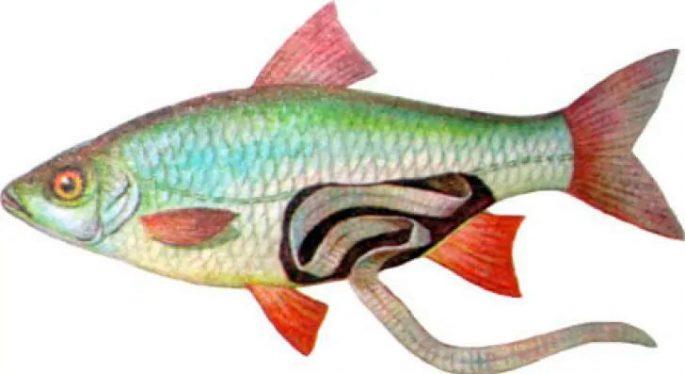 Селитерный червь в рыбе