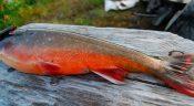 Рыба голец польза и вред, вкусные рецепты