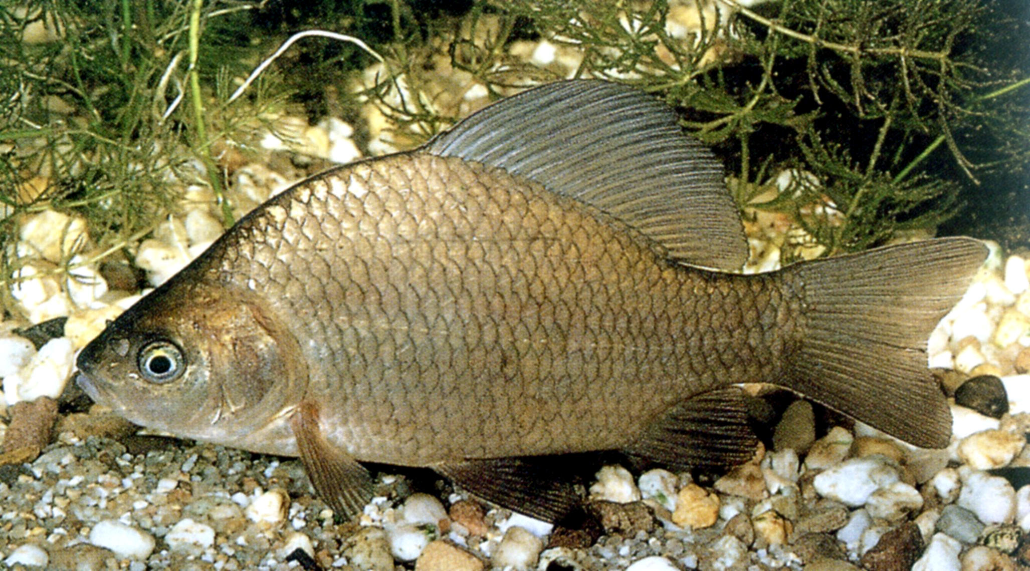 карась какая рыба