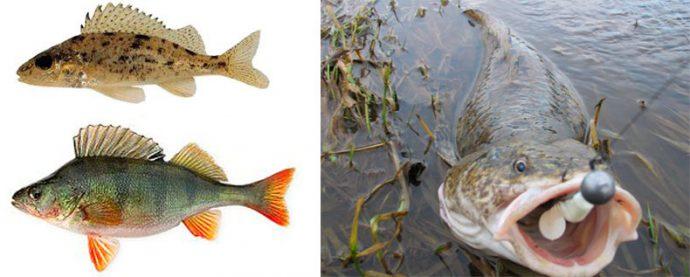 рыбная ловля на налима
