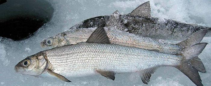 рыбалка видео прикормка для карася с укропа