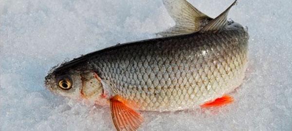 в какое время ловится рыба зимой