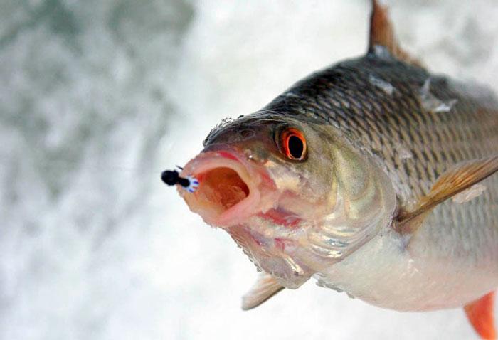 морская плотва видео на рыбинке