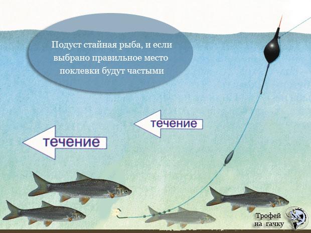 ловить рыбу подуст