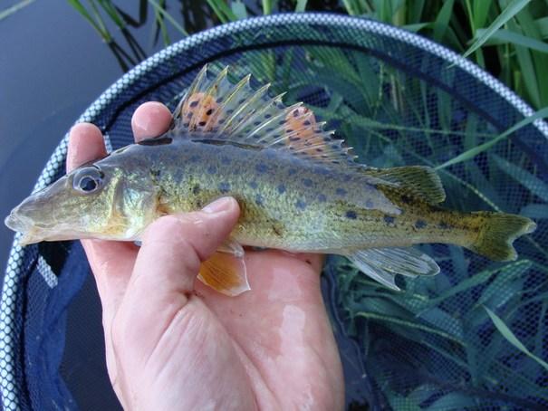 ловля рыбы ершами