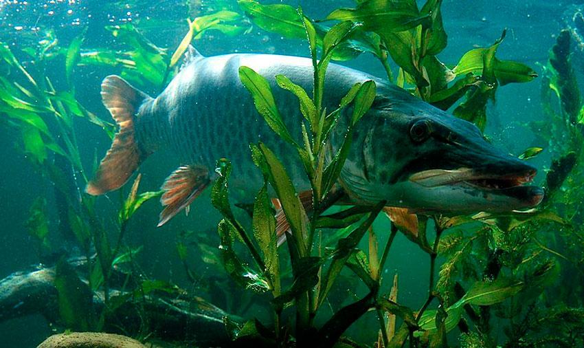 какая рыба клюет на майского жука