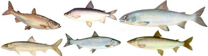 Виды рыб семейства сиговых