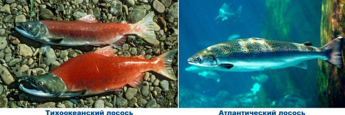 2 вида лосося