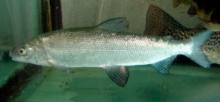 Рыба тугун