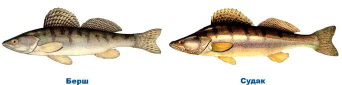 Отличие рыбы берш от судака