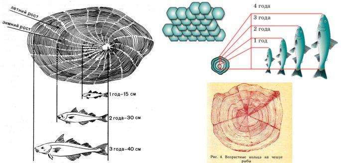 Определяем возраст рыбы по чешуе
