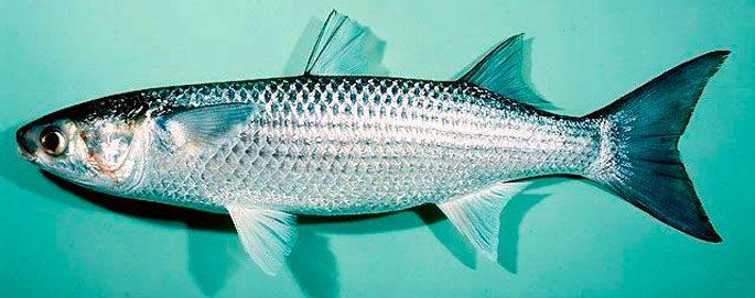 Рыба Лобань