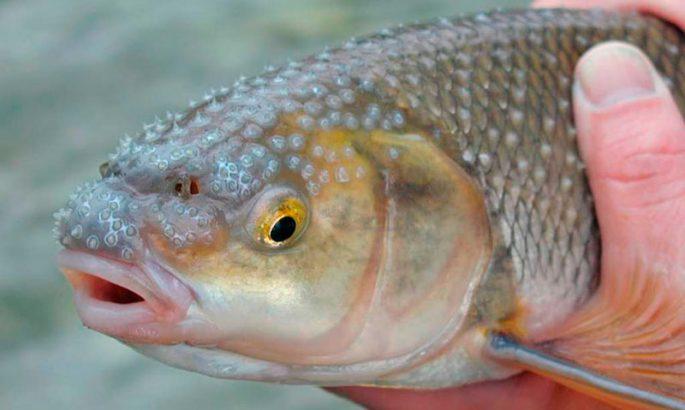 Чем питается эта рыба