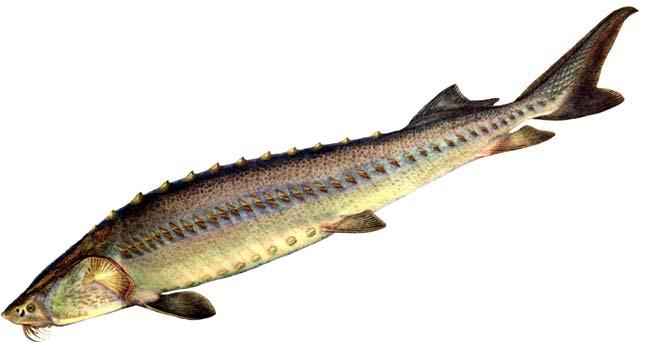 Осетр сибирский